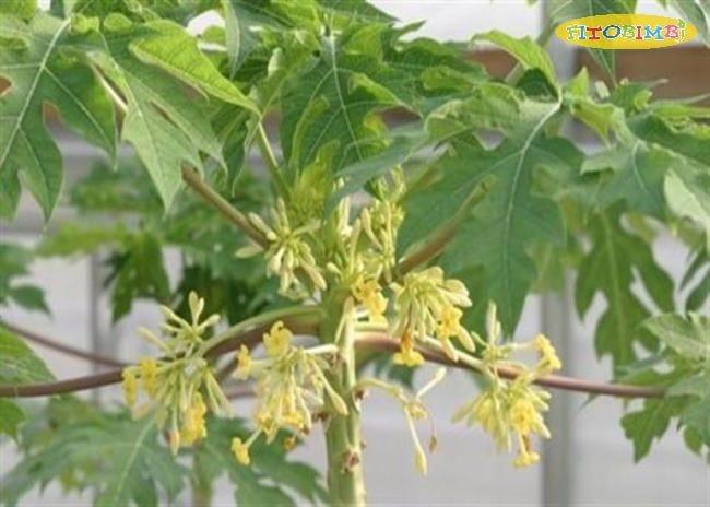 Hoa đu đủ đực chữa ho là phương pháp được lưu truyền từ lâu