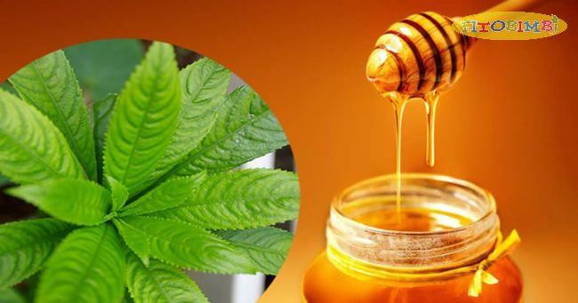 Không sử dụng lá xương sông hấp mật ong chữa ho cho trẻ dưới 1 tuổi